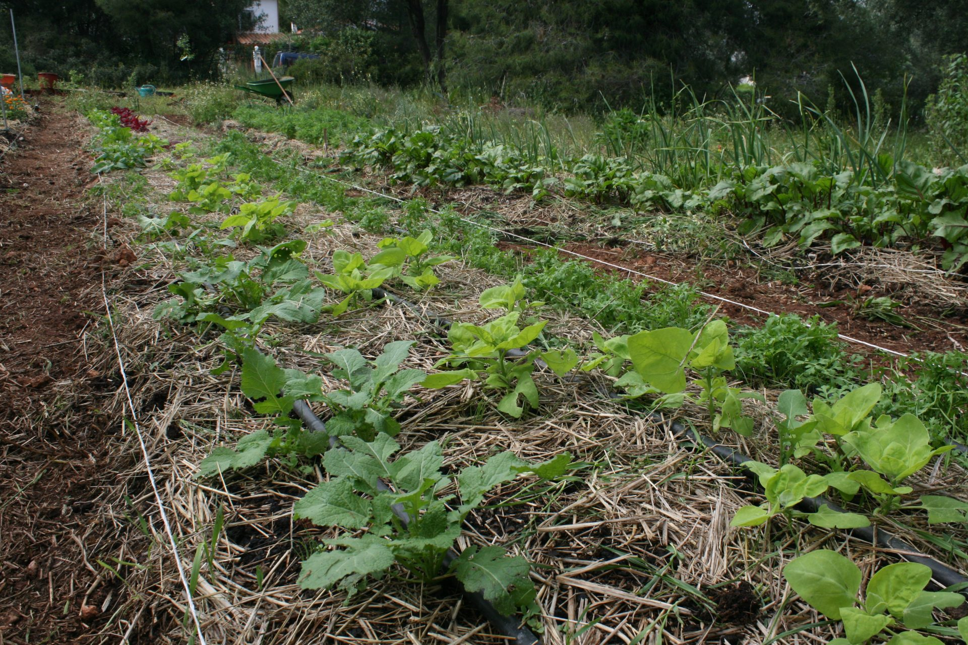 The vegetable garden (raised beds)